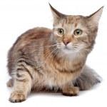 European short haired cat — Stock Photo #12879115
