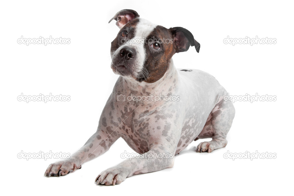 Staffordshire Bull Terrier isolated on a white background — Stock Photo #12875775