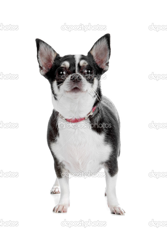 Short-haired tricolor Chihuahua in front of a white background — Stock Photo #12878039