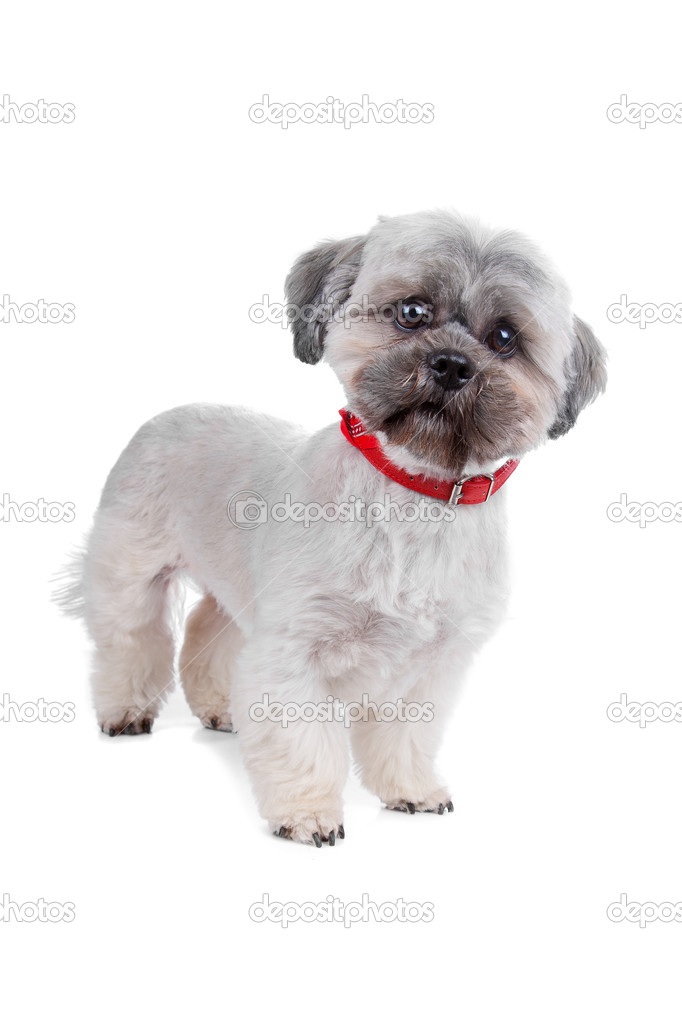 Shih Tzu in front of a white background — Foto Stock #12878314