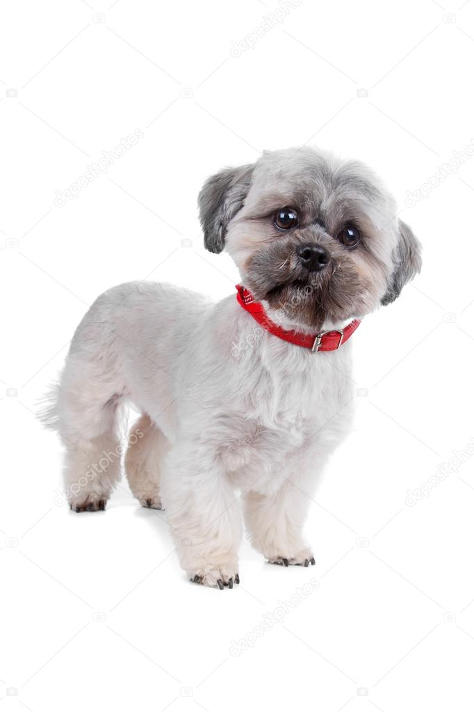 Shih Tzu in front of a white background  Foto de Stock   #12878314