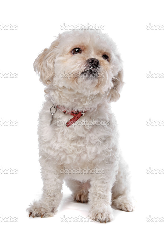 Boomer dog in front of a white background — Stock Photo #12878901