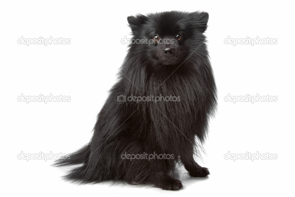 Unknown mixed breed longhaired small black dog — Stock Photo ...