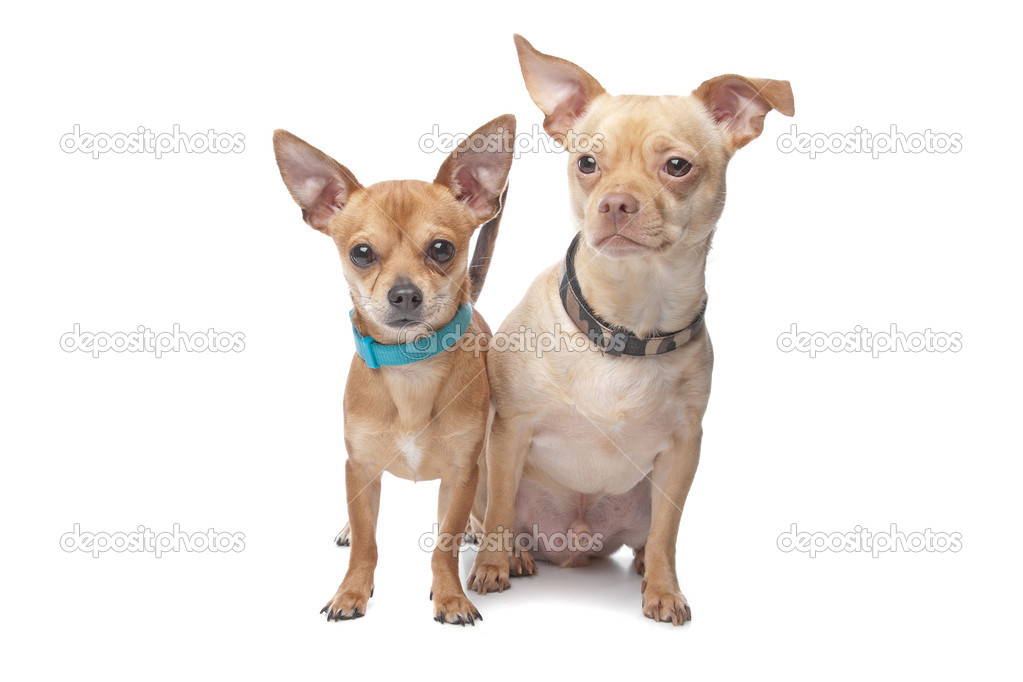 Two chihuahuas with collars, isolated — Stock Photo #12879151