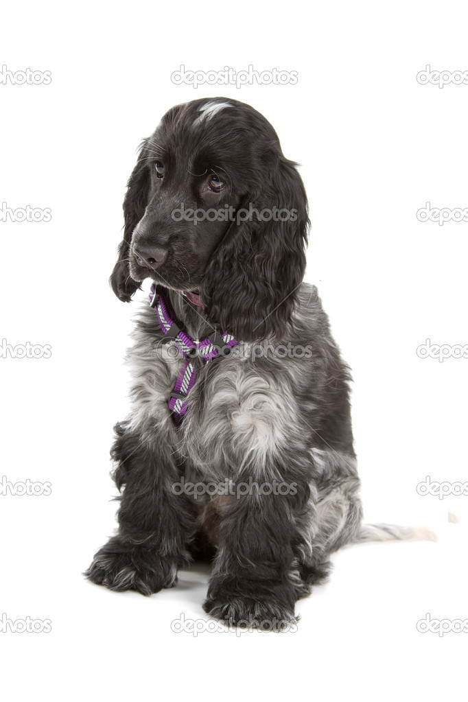 Black And Grey Cocker Spaniel Dog Stock Photo 169 Eriklam