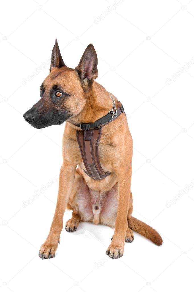 Belgian Shepherd Dog Malinois on a white background  Stock Photo #12879989