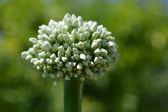 Flower onions. Close-up front view — Stock Photo