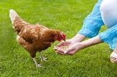 Feeding free range chicken — Stock Photo