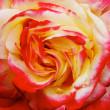 Yellow Pink Red Orange Rose Macro — Stock Photo