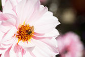 Bee on Pink Dahlia larger dof — Stock Photo