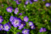 Field of Purple Wild Geraniums — Stock Photo