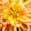 Yellow Dahlia Macro — Stock Photo #14136921