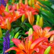 Day Lillies - Stock Photo
