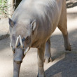 Young Babirusa male pig — Stock Photo #17366307