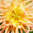 Yellow Dahlia Macro deer dof — Stock Photo #21164007