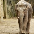 Adult Elephant — Foto Stock
