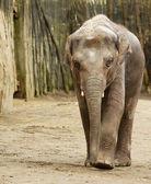 成年大象 — 图库照片