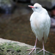 cattle egret — Stock Photo