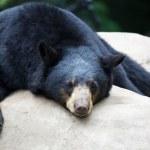 Sleeping Black Bear — Stock Photo