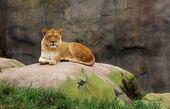 Watching Lioness — Stock Photo