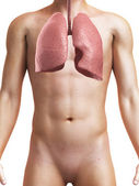 Medical illustration of a healthy male lung — Stock Photo