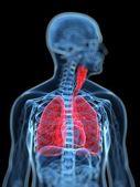 人体呼吸系统的医学插图 — 图库照片