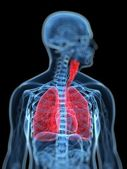 Medical illustration of the human respiratory system — Stock Photo