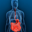 Stock Photo: Highlighted digestive system