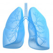 Lung and bronchi — Stock Photo #12443982