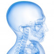 Skeletal neck and head — Stock Photo