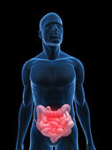 Colon and intestine — Stock Photo