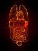 Human spleen — Stock Photo