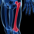 The femur - Foto Stock