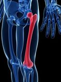 The femur — Stock Photo