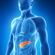 Foto Stock: Male pancreas