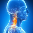 Stock Photo: Skeletal neck