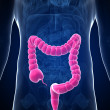 The male colon - Foto Stock