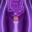 Human bladder — Stock Photo