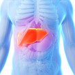 The male liver - Stock Photo