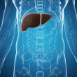 Royalty-Free Stock Photo: The male liver