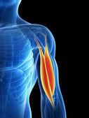 Human biceps — Stock Photo