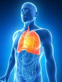 Un poumon mâle — Photo