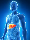 The male liver — Stock Photo