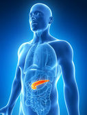 The male pancreas — Stock Photo