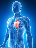 The male heart — Stock Photo