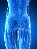 нижней мышцы — Стоковое фото