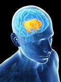 Parti interne del cervello — Foto Stock