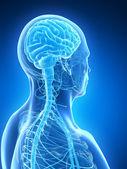 мужской мозг — Стоковое фото