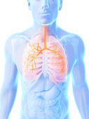 Male lung — Stock Photo