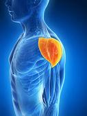 Muscolo di spalla — Foto Stock